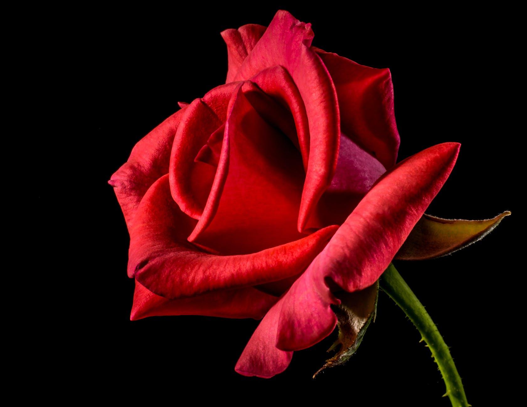 flower-roses-red-roses-bloom